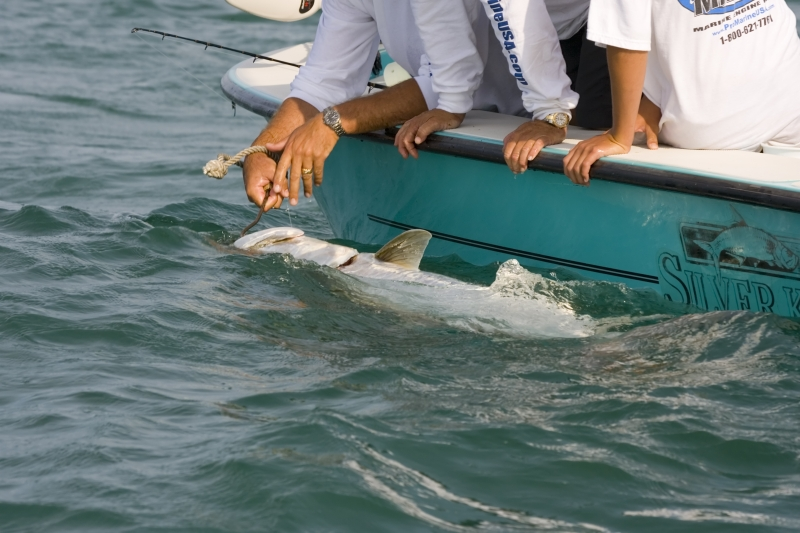381706-the-tarpon-is-caught-and-heading-for-the-scales