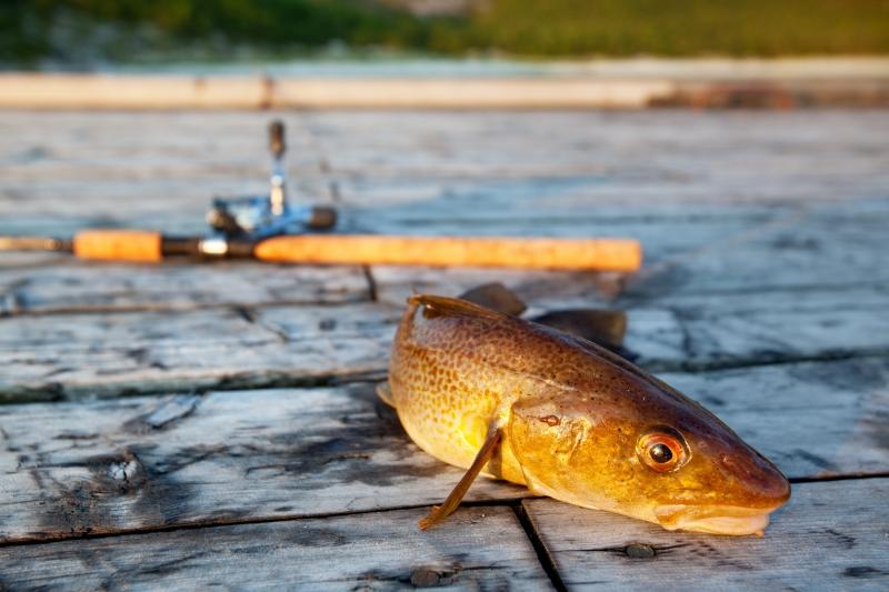 803835-fresh-cod-fish